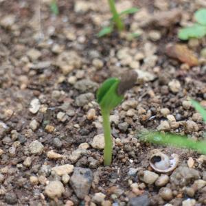 スイカの芽