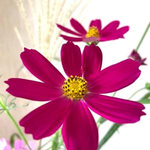 コスモスの咲くシーズンは