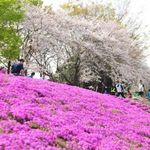 相模川の芝桜