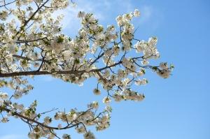 山梨桃の花 続き