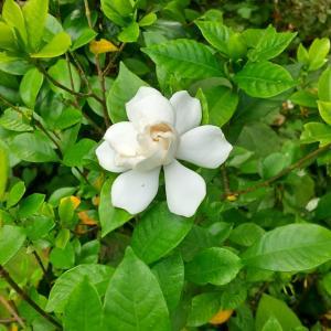 クチナシの開花