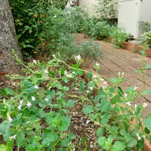 レンガの小道の花壇 ーイタリアンルスカスのまわりー