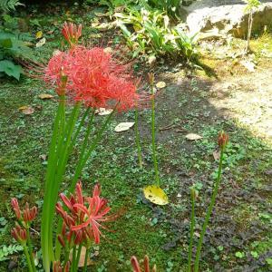 ヒガンバナの開花1  ─お地蔵さまのまわり─