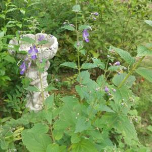 西の花壇  ─カリガネソウのまわり─