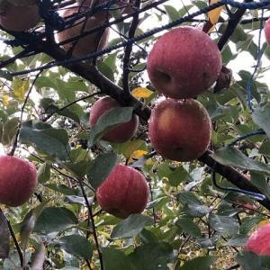 りんごはお好き?