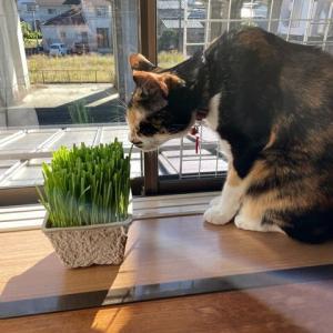 猫草のリフレッシュ💛
