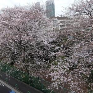 高松中学校の桜はほぼ満開です
