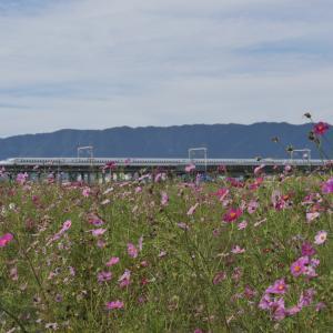 大垣コスモス畑と新幹線