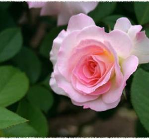 薔薇の訪れ