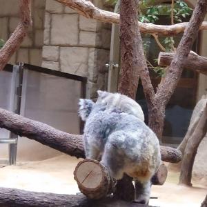 東山動植物園へ  コアラの赤ちゃん