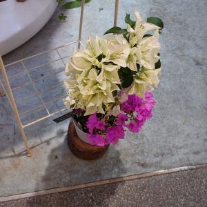 ブーゲンビリア&羽蝶蘭