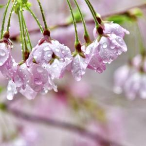 ものすごい雨・・・桜が傷むよなぁ