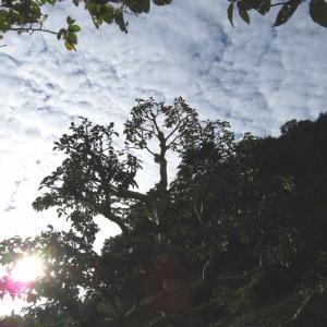 見上げれば、そこに秋空が! 〜サカキの木、1本剪定終了〜