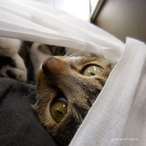 さらしで抱っこひも、中に猫。