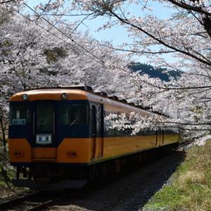 桜のトンネルをくぐる大鉄の電車