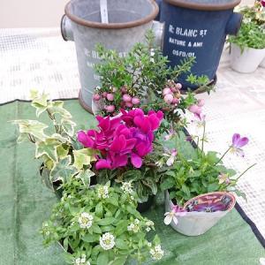 ガーデンシクラメンとビオラの寄せ植え