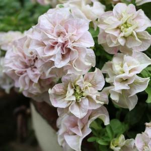 お気に入り番組と庭の花