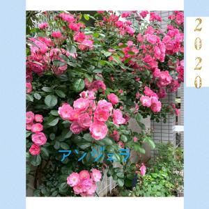 今年の薔薇たち