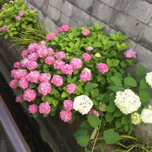 寄り道〜紫陽花〜