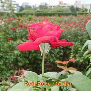 ホテルニューオータニのRed Rose Garden・3800円のケーキを食べる