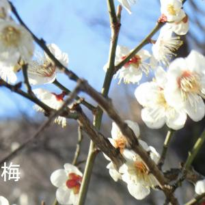 小石川後楽園の梅・季節となりました・水戸藩の庭園