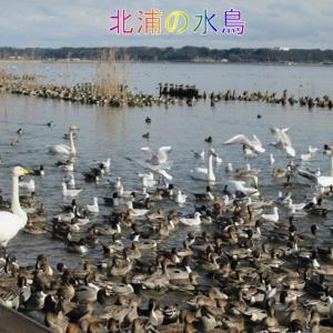 白鳥の湖・水鳥の楽園・北浦西岸。凄い数です