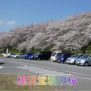 権現堂堤の桜と菜の花畑・6キロ3000本の桜並木・幸手市