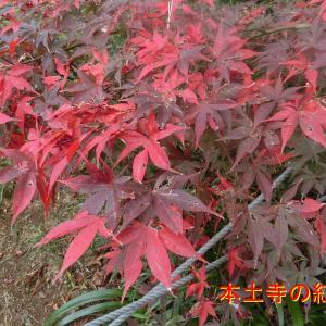 松戸市の本土寺の紅葉・由緒ある寺散策・紅葉のピークです