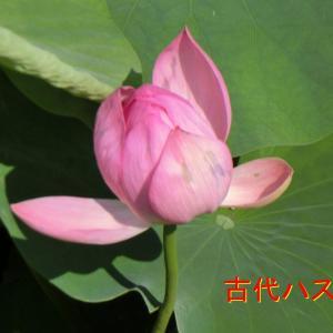 千葉公園の古代ハス開花・おゆみ池の古代ハスも開花・緑子さんのお花も開花