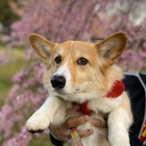 こはきゅと桜と色々