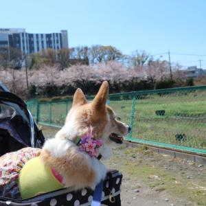 バブ様と桜