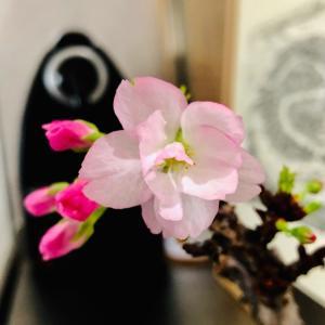 我が家の桜、開花宣言!