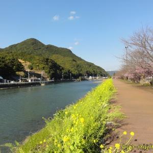 佐々川河川敷の河津桜と菜の花2020