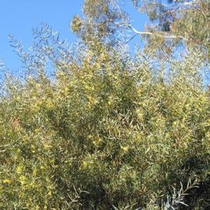ワトルの木と新型コロナのその後