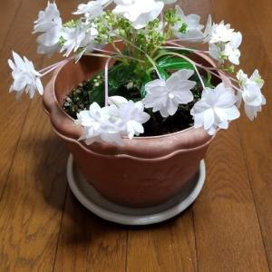冬に咲いたアジサイの花