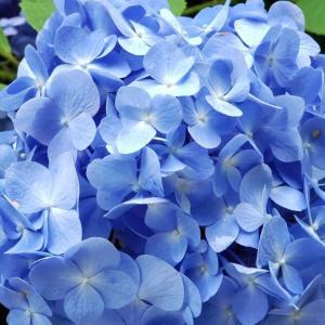 ブルーのアジサイいっぱい♪