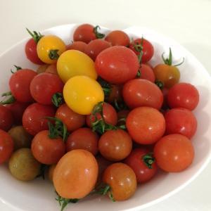 旦那はんの家庭菜園はトマトが大収穫祭り