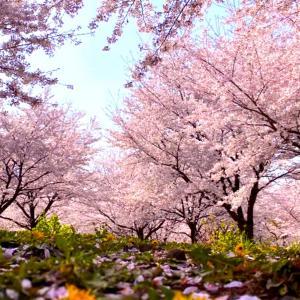 春になりましたね…✨ 明月