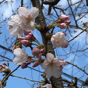 会社の桜咲きました