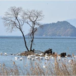 琵琶湖のコハクチョウは北帰行間近  令和2年3月