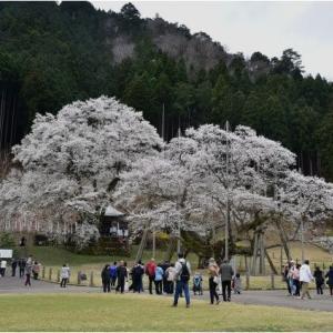 日本三大桜  根尾 薄墨桜     令和2年4月