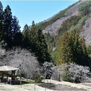 恵那市上矢作の福寿草と岩村のひな祭り   令和3年3月