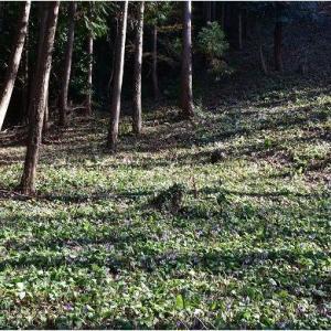可児川下流域自然公園のカタクリ     令和3年3月