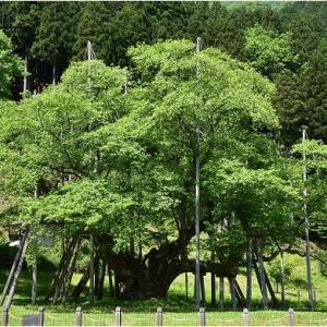 新緑を楽しみに岐阜、福井県境の温見(ぬくみ)峠へ   令和3年5月