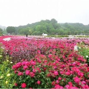 花フェスタ記念公園の「春のローズウィーク」  令和3年5月