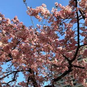 播磨坂の河津桜が見頃になりました!