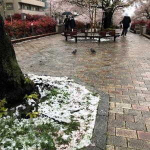 桜も凍える雪の播磨坂
