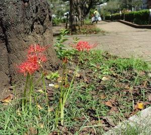 秋の訪れ…播磨坂の彼岸花が咲きました