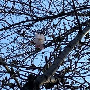 播磨坂の桜は開花未満