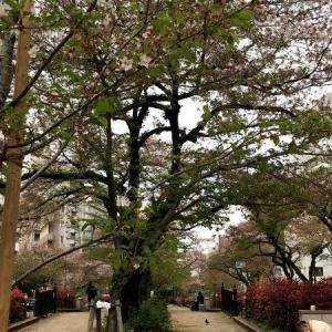 人並みが去った播磨坂・名残の桜